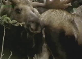 Two black deers have bestiality sex in forest