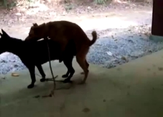 Two small nice dogs are enjoying quick sex